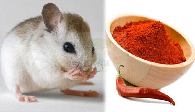 Đuổi chuột bằng bột ớt