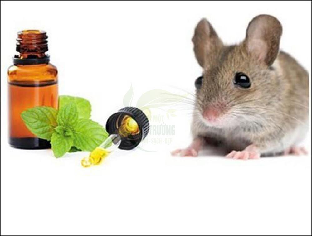 Đuổi chuột bằng tinh dầu bạc hà