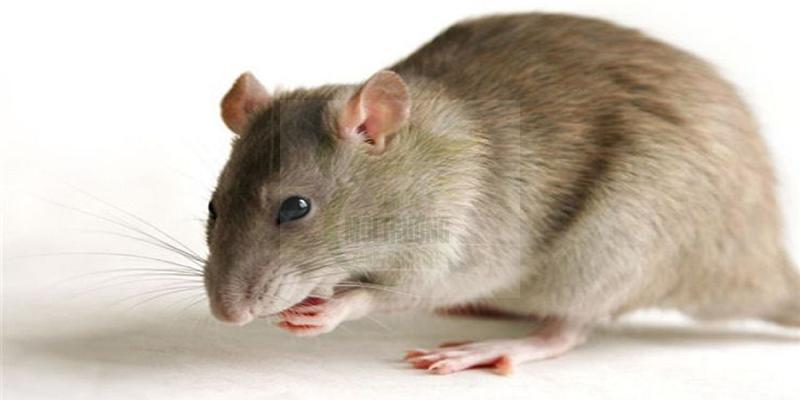 10 mẹo đuổi chuột hữu hiệu